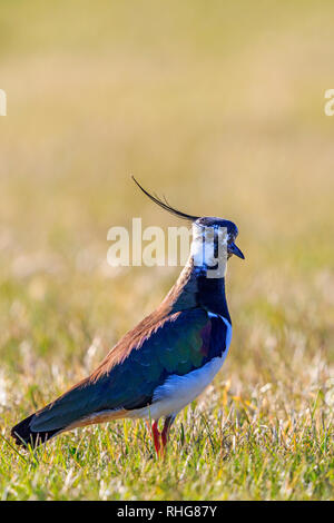 Close up at a Northern lapwing standing in the grass - Stock Photo