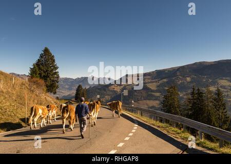 Jaunpass, Simmental, Bernese Oberland, Alps, Switzerland, Oct. 2018, shepherd brings cattle herd from the pasture in autumn - Stock Photo