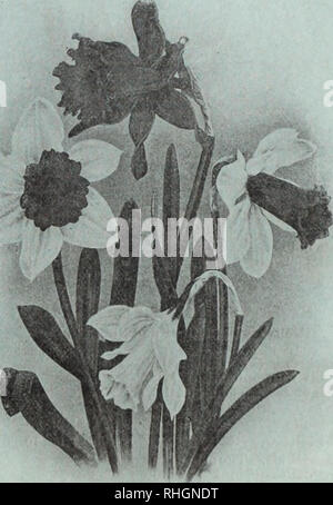 . Boddington's quality bulbs, seeds and plants / Arthur T. Boddington.. Nursery Catalogue. Narcissus POLYANTIUJS VARIETIES Paper - White Grandiflora Doz. lOO liooo Multiflora. This variety is a great improvement over the grandiflora; i - a vigorous grower, with fine spike, which carries larger trusses, and in greater abundance than the old varieties . . Paper - White Grandiflora. The well-known varie- ty; large-sized bulbs . Double Roman. Large trus- ses of white flowers, with double yellow cup; very early and excellent forcer 30 Grand Soliel d'Or. Dark yellow, with orange cup; splendid beddf- - Stock Photo