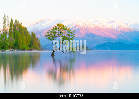 That Wanaka Tree, willow tree growing in lake is popular tourist scene in long exposure with sunset colors reflected from snow covered mountains behin