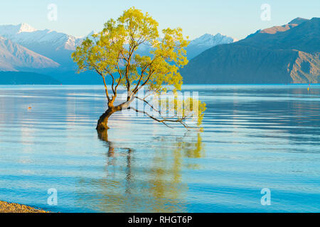 Water ripples around That Wanaka Tree, willow tree growing in lake is popular tourist scene in long exposure with sunset colors reflected from snow co