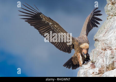 A Eurasian griffon vulture (Gyps fulvus) stretches it's wings - Stock Photo