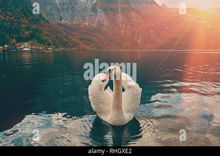 Swan portrait. Mute swan (Cygnus olor) gliding Lake Hallstatt Austria in sunrise morning light. Amazing morning scene, misty morning. Beautiful swan o - Stock Photo