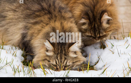 Beautiful long haired cats of siberian breed in the garden in winter time - Stock Photo