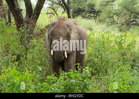 African Elephant, Loxodonta africana, in Lake Manyara National Park, Tanzania - Stock Photo