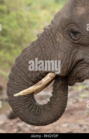 African Elephant, Loxodonta africana, in Lake Manyara National Park, Tanzania - Stock Photo