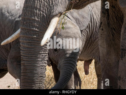 A baby African Elephant, Loxodonta africana, surrounded by adults in Serengeti National Park, Tanzania - Stock Photo