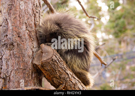 Adult porcupine sitting in tree in winter at the Cheyenne Mountain Zoo in Colorado Springs, Colorado. - Stock Photo