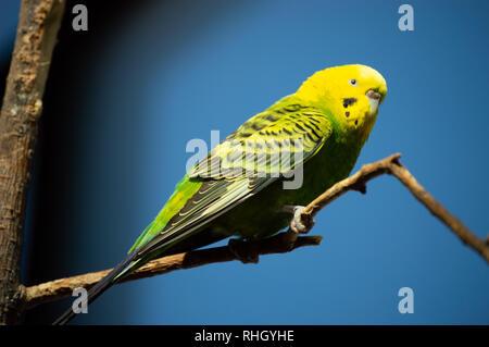Closeup of beautiful parakeet against blue sky in captivity - Stock Photo