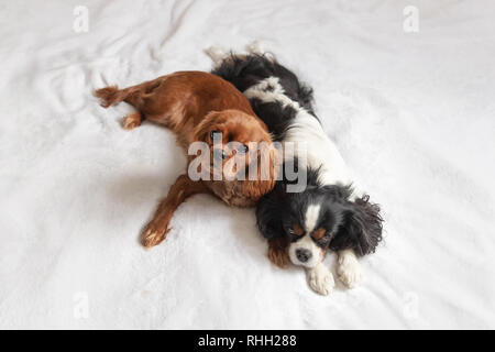 Two dogs sleeping togehter on the white blanket - Stock Photo