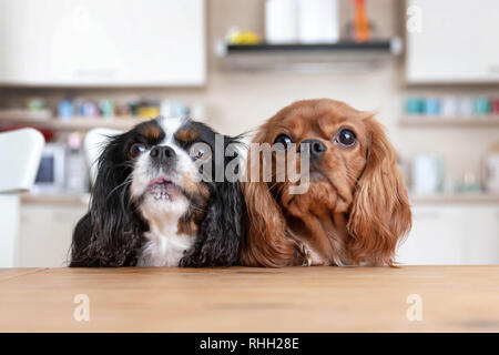 Two dogs sitting behind the kitchen table waiting for food - Stock Photo