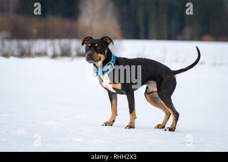 American Pit Bull Terrier, tricolor male sitting in the snow