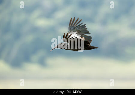 Close up of a wattled ibis in flight. It is endemic to the Ethiopian highlands and is found only in Ethiopia and Eritrea. - Stock Photo