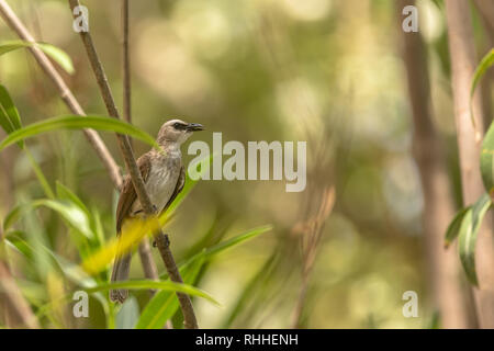 Yellow vented Bulbul, Pycnonotus goiavier, perching on the twig. Bali in Indonesia. - Stock Photo