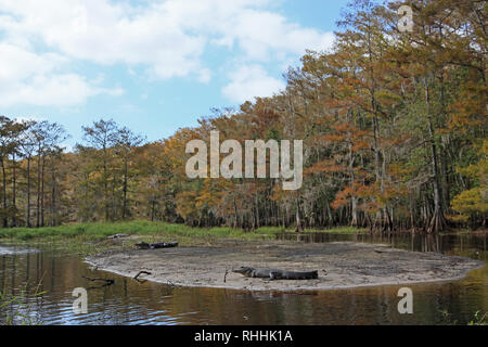 American Alligators, Alligator mississippiensis, sunning on the banks of Fisheating Creek, Florida on an autumn afternoon. - Stock Photo