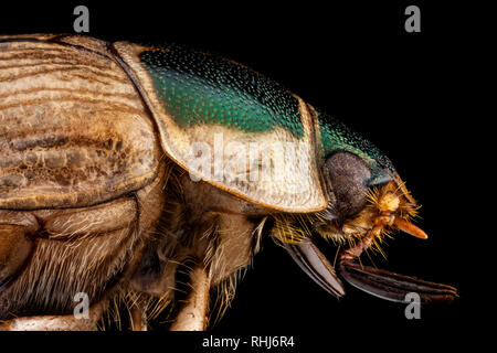 Profile portrait of a Japanese beetle - Stock Photo