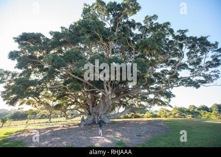 Large fig tree at Wollongbar, New South Wales, Australia - Stock Photo