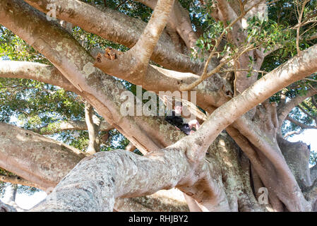 Young boy in large fig tree, Wollongbar, New South Wales, Australia - Stock Photo