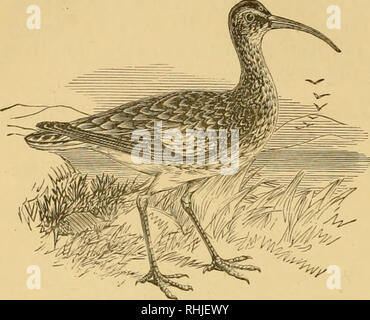 """. The birds of Essex: a contribution to the natural history of the country. Birds. 256 THE BIRDS OF ESSEX.. CURLEW, l/l2. Curlew : Numenius arqiiata. I,ocally, """" Whitterick """" and """" Old Harry"""" (E. A. R). A very common bird on the mud-banks and saltings on the Essex coast from about the middle of July to the end of May, but it does not breed anywhere in this part of England, and the only occasions when they are to be seen inland in this county are during the periods of spring and autumn migration, when small parties may some- times be observed flying over, and their loud whis - Stock Photo"""