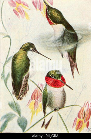 """. Birds of eastern Canada. Birds -- Canada. 244 Plate XXII. F/ """" .; ''h.*.*, — Uiic&h,. A. Ruby-throated Hummingbird (p. 146) Female Males. Please note that these images are extracted from scanned page images that may have been digitally enhanced for readability - coloration and appearance of these illustrations may not perfectly resemble the original work.. Taverner, Percy Algernon, 1875-1947. Ottawa, J. de L. Tachprinter - Stock Photo"""