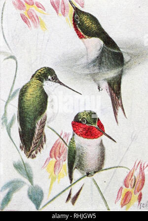 . Birds of eastern Canada. Birds -- Canada, Eastern. 244 Plate XXII.. A. Ruby-throated Hummingbird (p. 146j. Female Males. Please note that these images are extracted from scanned page images that may have been digitally enhanced for readability - coloration and appearance of these illustrations may not perfectly resemble the original work.. Taverner, Percy Algernon, 1875-1947. Ottawa : Canada Dept. of Mines, Geological Survey - Stock Photo