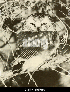 . Birds in Kansas. Birds -- Kansas Identification. OWLS 345. An adult Northern Saw-whet Owl (Aegolius acadicus). Photograph by Ed and Jean Schulenberg. Northern Saw-whet Owl Aegolius acadicus (Gmelin) Status: The Northern Saw-whet Owl is a rare local transient and winter resident statewide. It nested in Wyandotte County in 1951.. Please note that these images are extracted from scanned page images that may have been digitally enhanced for readability - coloration and appearance of these illustrations may not perfectly resemble the original work.. Thompson, Max C; Ely, Charles A. (Charles Adelb - Stock Photo