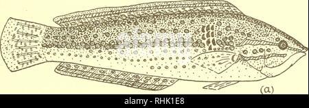 Inimicus japonicus Stock Photo: 62153897 - Alamy