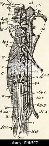 The Biology Of The Frog Frogs The Nervous System 2 S Both The Cord And The Brain Are Surrounded By Membranes Which Are Designated By Gaupp As Fol Lows Externally Is The slender threadlike prolongation of the spinal cord below the origin of the lumbar nerves : the biology of the frog frogs the
