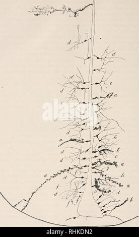 . Biologisches Zentralblatt. Biology. ';^^ Franz, Beitrag zur Kenntnis des Epcndynis im Fischgehirn.. Fig. 2. Ependymzellen am Veutrikclspalt des Thalamus vom Goldfisch. Golgi-Iniprägnierung. Fig. 2 stellt einen Frontalschnitt durch das Gehirn eines Gold- fisches dar, behandelt nach der Golgi'schen Methode; die Gegend, um die es sich handelt, ist der schmale Ventrikelspalt des Thalamus.. Please note that these images are extracted from scanned page images that may have been digitally enhanced for readability - coloration and appearance of these illustrations may not perfectly resemble the ori - Stock Photo