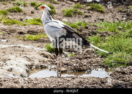 Secretary Bird in Tanzania - Stock Photo
