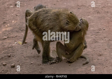 Two baboons cleaning each other - Stock Photo