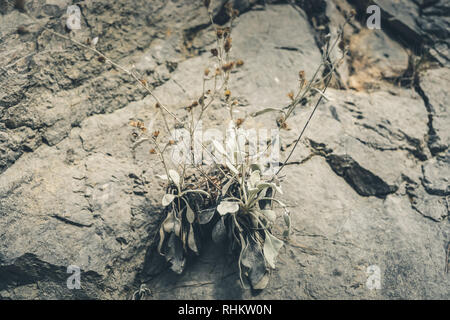 Small mountain plants growing in crevices among stones.  - Stock Photo