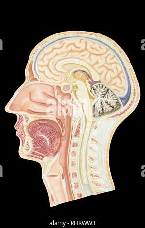 Longitudinal section model human head isolated on black background - Stock Photo