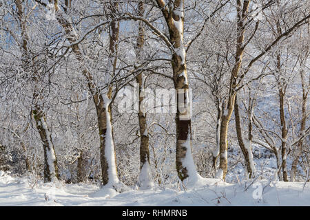 snow covered tree trunks alongside the long road by Coupall Falls to Glen Etive at Rannoch Moor, Highlands, Scotland in Winter - Stock Photo