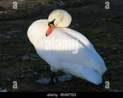 A single white swan at the reservoir on a cold wintry afternoon at Sywell Country Park, Northamptonshire; its white plumage glowing in the winter sun - Stock Photo