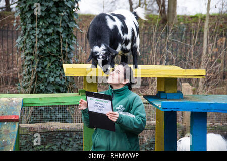 Keepers at ZSL London Zoo carry out the annual stocktake of animals, birds and insects  Featuring: Pygmy goats Where: London, United Kingdom When: 03 Jan 2019 Credit: Phil Lewis/WENN.com - Stock Photo