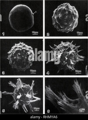 . The Biological bulletin. Biology; Zoology; Biology; Marine Biology. COPEPOD EGG ENVELOPE FORMATION 43. Figures 1-5. SEMsof egg envelope and spine formation from emergence of first polar body (Fig. 1, unlabeled arrow) to 24-h-old embryo (Fig. 5). Figure 6. SEM. High magnification of spines.. Please note that these images are extracted from scanned page images that may have been digitally enhanced for readability - coloration and appearance of these illustrations may not perfectly resemble the original work.. Marine Biological Laboratory (Woods Hole, Mass. ); Marine Biological Laboratory (Wood - Stock Photo