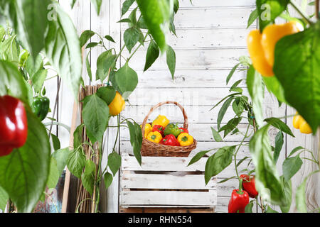 wicker basket full of sweet colored peppers on the wooden box crate in vegetable garden, growth and harvest concept - Stock Photo