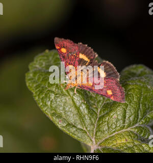 The tiny daytime  Mint Moth (Pyrausta aurata) on the leaf of an applemint herb plant, with wings spread to show underwing. - Stock Photo