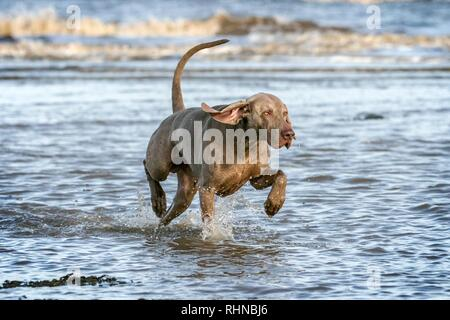 Southport, Merseyside, UK. 3rd February 2019. Weimaraner Playing.  Kobi, a beautiful five year old Weimaraner, plays with his favourite rope ball along the shores of Southport beach in Merseyside.  The Weimaraner is a large dog that was originally bred for hunting in the early 19th century. Early Weimaraners were used by royalty for hunting large game such as boar, bear and deer.  Credit: Cernan Elias/Alamy Live News - Stock Photo