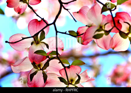A closeup view of apple blossoms, a sign of spring - Stock Photo