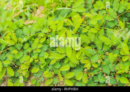 nature background Mimosa shy pudica leaf in close up view - Stock Photo