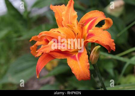Day Lillies in Garden - Stock Photo