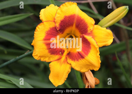 Day Lillies in Garden - Stock Photo