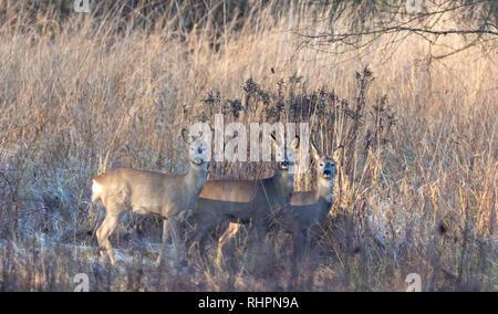 Group of European Roe Deer in cold sunrise light, Podlasie Region, Poland, Europe - Stock Photo