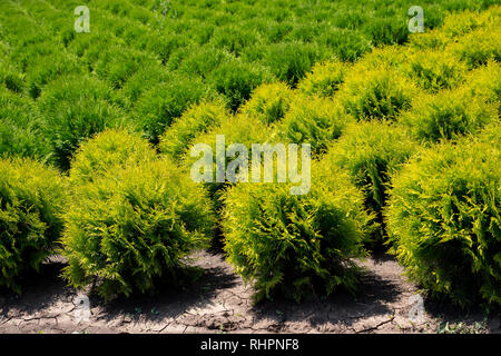 Plant nursery. Thuja occidentalis in garden center. - Stock Photo