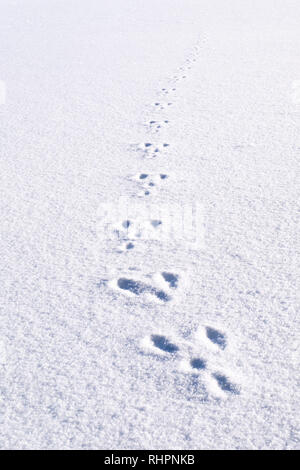Fresh footprints, footsteps from animal rabbit in white snow field building a nice path track in winter - Stock Photo