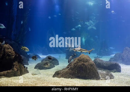 blacktip sharks and other tropical fish in their oceanic environment, Lisbon - Stock Photo
