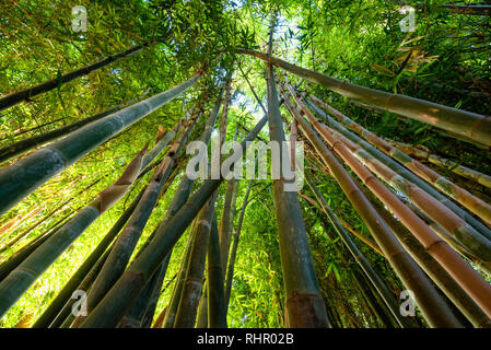 Green bamboo background. From the bottom to the top view of grove of bamboo garden forest. Meditative and buddhism concept in Marrakech , Morocco.