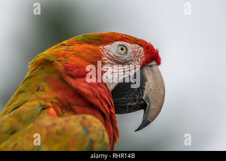 Beautiful macaw looking to the side, Great detail in the face and feathers with a soft background. - Stock Photo
